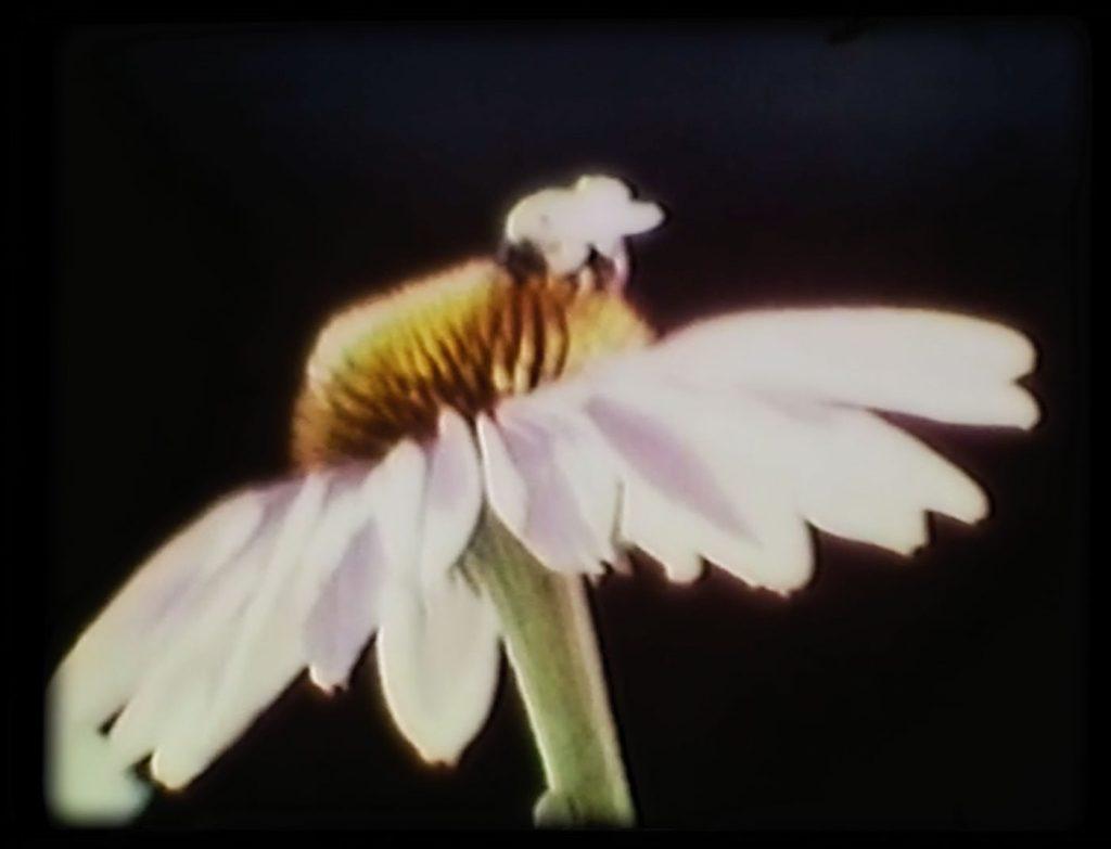 photo of bee on daisy flower